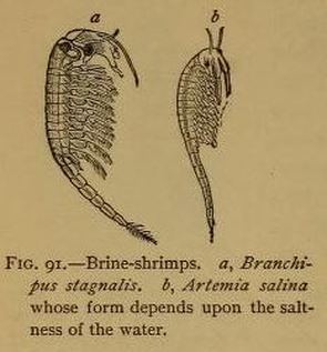 Sea Monkeys or Aqua Dragons? A Comprehensive Guide to Brine Shrimp ...